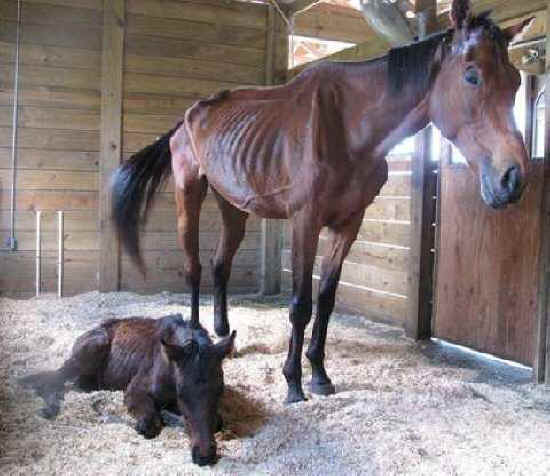 horse slaughter Video footage of horse slaughter in canada warning graphic not suitable for children.