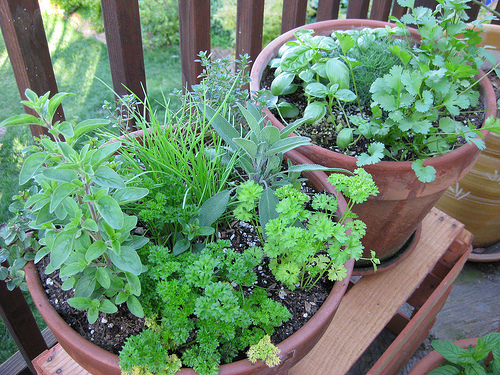 Macetas con varias hierbas de cocina compartiendo el espacio - El cilantro es una planta compatible con muchas otras.  Quiero Cultivar Cilantro en Macetas ¿Por donde Empezar?
