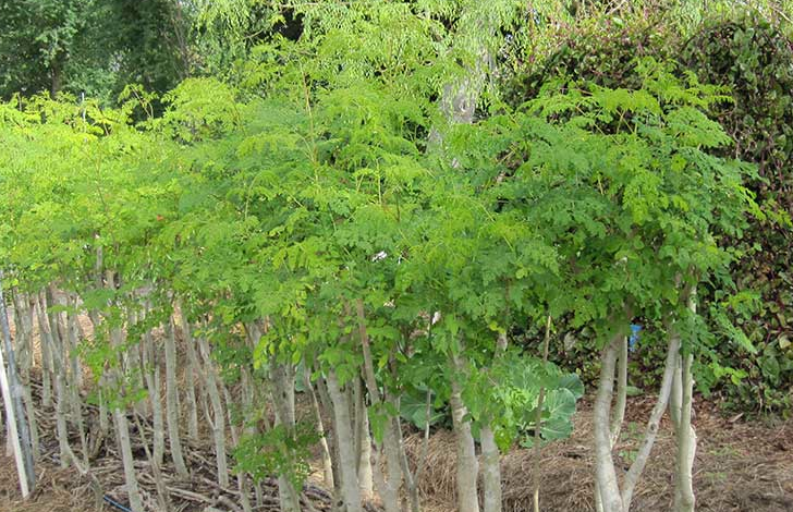 Moringa Trees A Nutritional And Medicinal Plant For