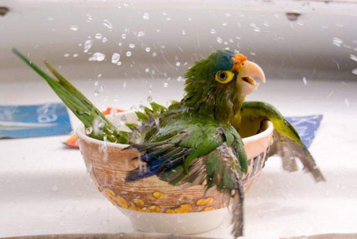 Periquito tomando banho em uma xícara de água