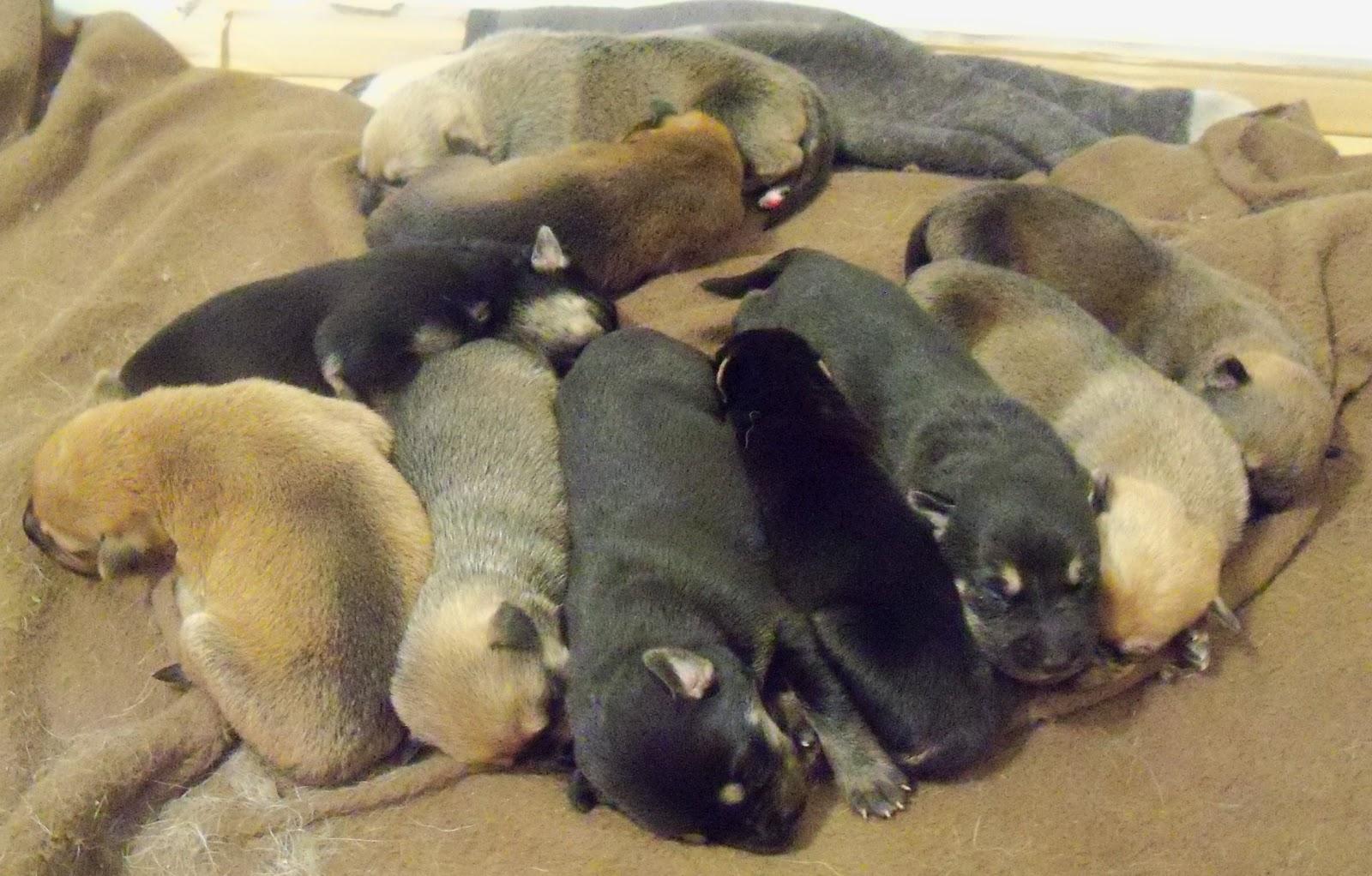Crimlaw Puppies