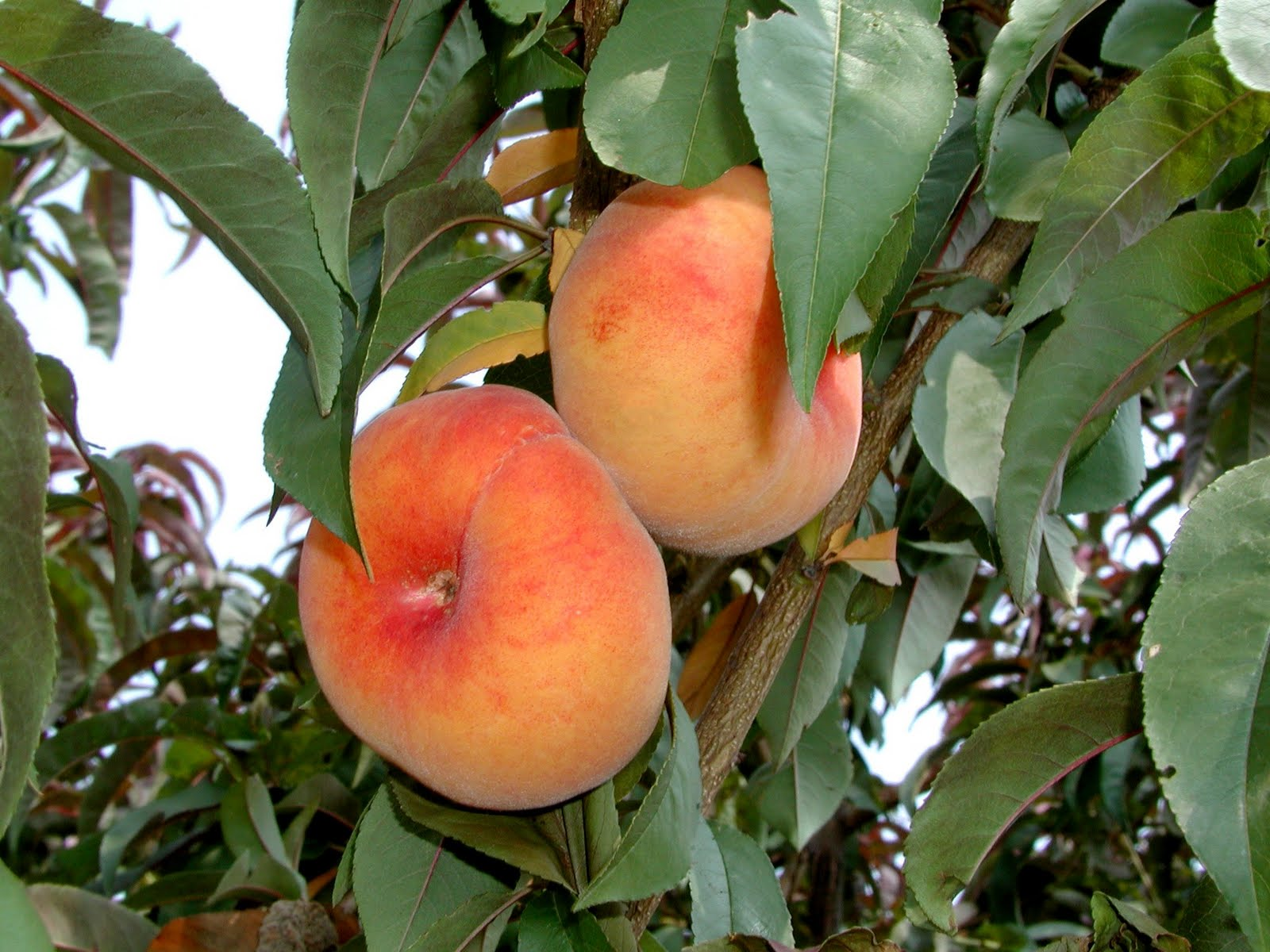Fruits wallpapers for desktop background free hd desktop for Fruit trees