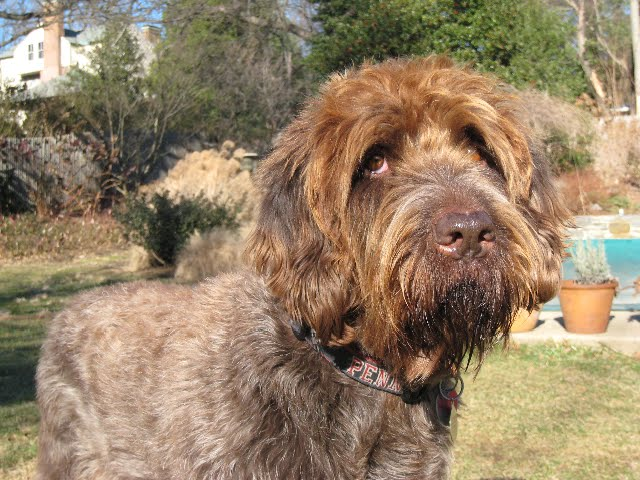 Wirehaired Pointing Griffon Picture of Dog
