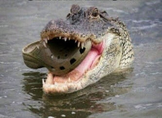 a crocodile eating a croc shoe
