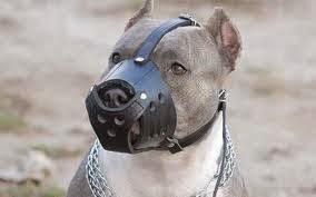 كلب شرس يضع صاحبه عليه كمامه لمنعه من العض