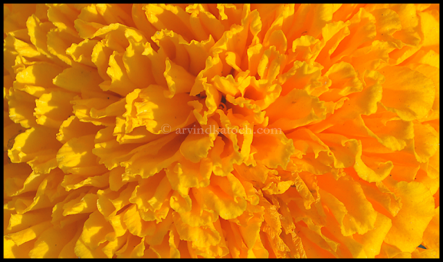 dance of life, Marigold, Beautiful, shadow effect, Changing color