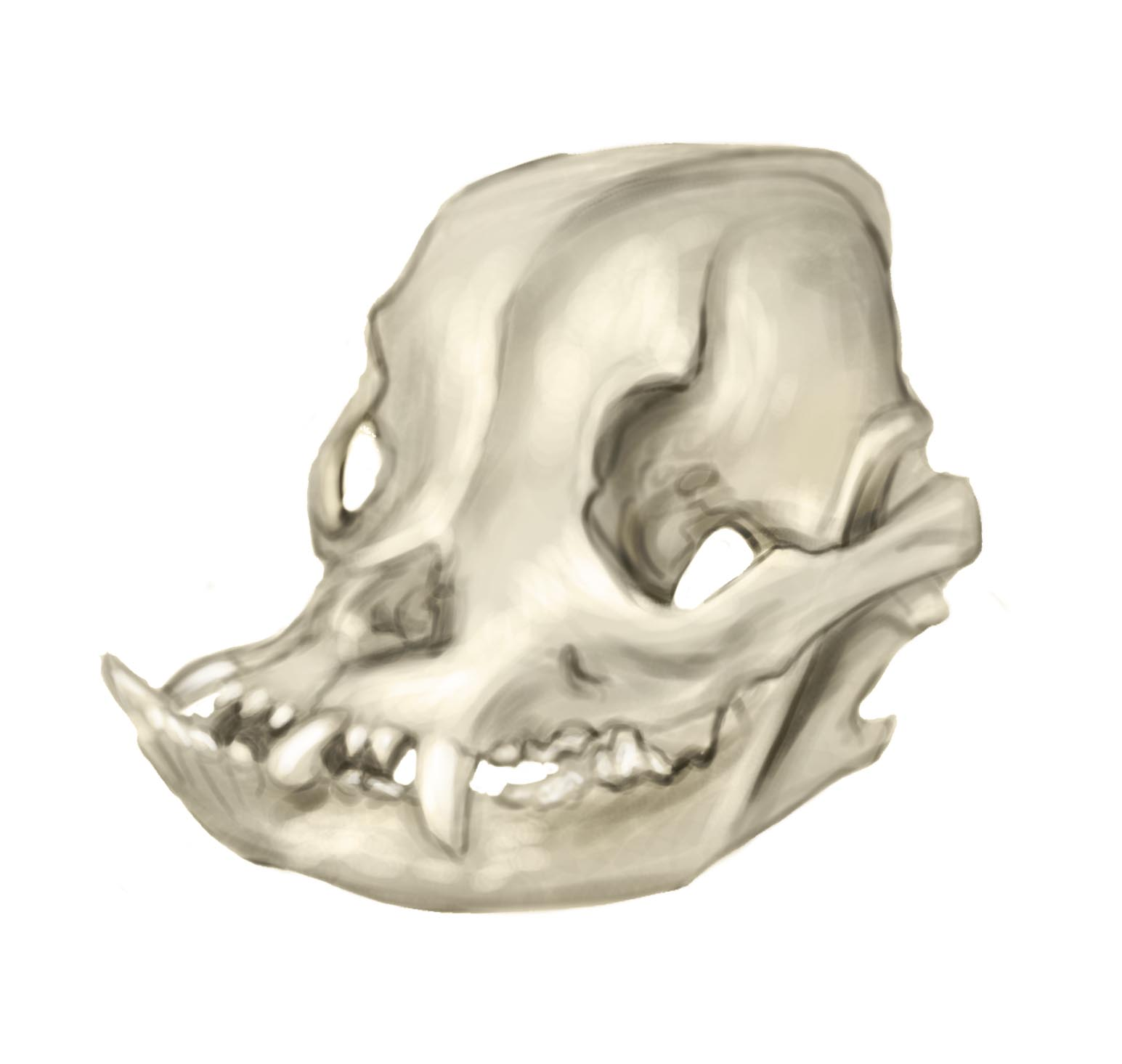 Dog Skull Anatomy http://flustercup.blogspot.com/2011/02/animal-anatomy-bull-dog-skull-sketch.html
