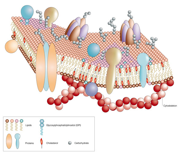 The fluid-mosaic model of the cell membrane