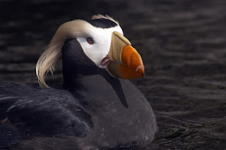 Image of a Tufted Puffin