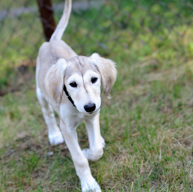Saluki Hunting Dogs For Sale