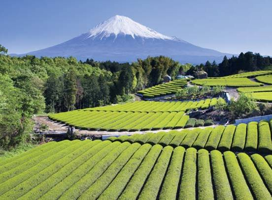 Φυτεία πράσινου τσαγιού στην Ιαπωνία.