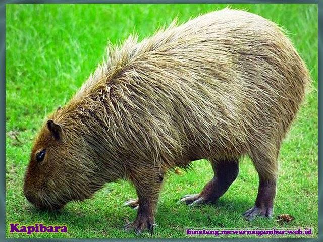 gambar binatang kapibara