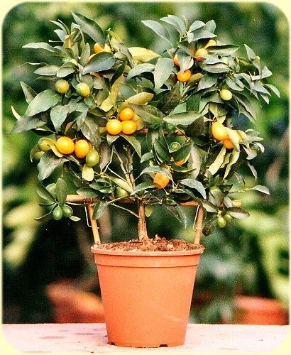 Arte y jardiner a arboles frutales enanos for Arboles para macetas de exterior