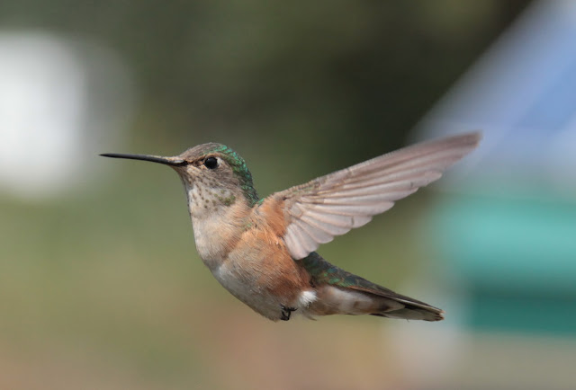 A hummingbird with his wings extended behind him during mid flight.