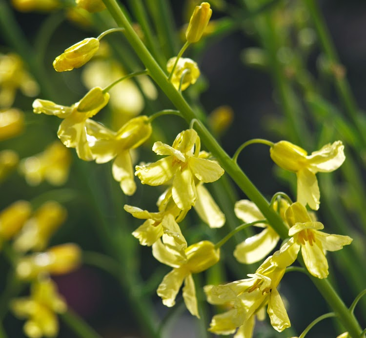 Gule blomster på grønkål er spiselige og velsmagende blomster