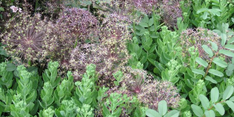 Allium 'Christhopii' og Sankthansurt