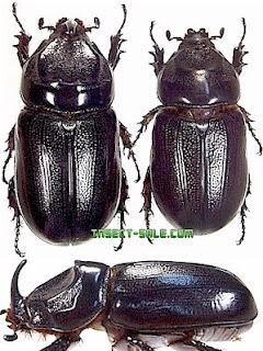 Kumbang Badak (Oryctes rhinoceros)