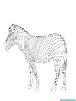 Gambar Zebra Berjalan Untuk Diwarnai