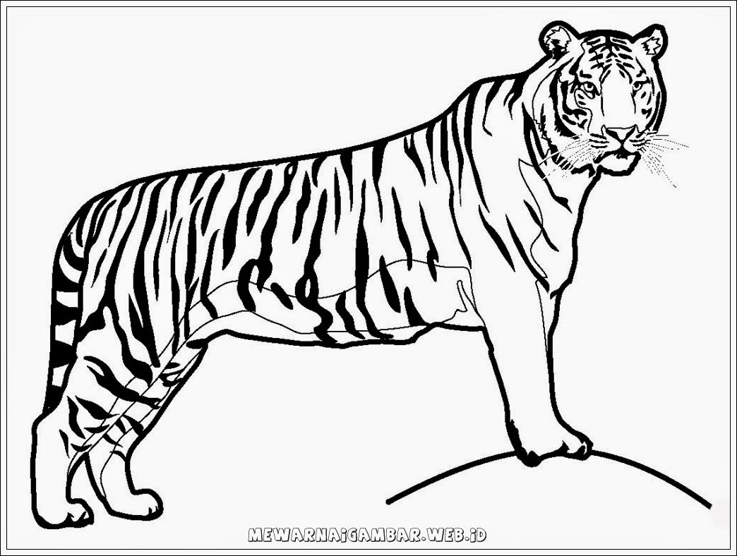 lembar mewarnai gambar harimau