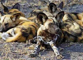Painted Dogs (African wild dogs)