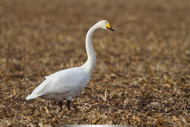 Grote Zwaan - Whooper Swan - Cygnus cygnus