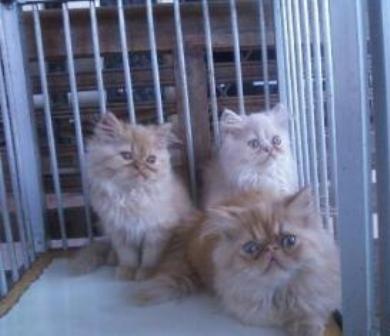 Penjual Kucing Persia Bandung Jual Kucing Persia Bandung