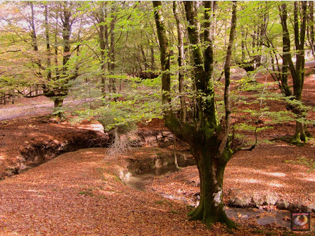 Hayedo de Otzarreta en Zeanuri (Bizkaia) Parque Natural de Gorbea