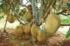 Budidaya Pohon Durian Montong Agar Cepat Berbuah