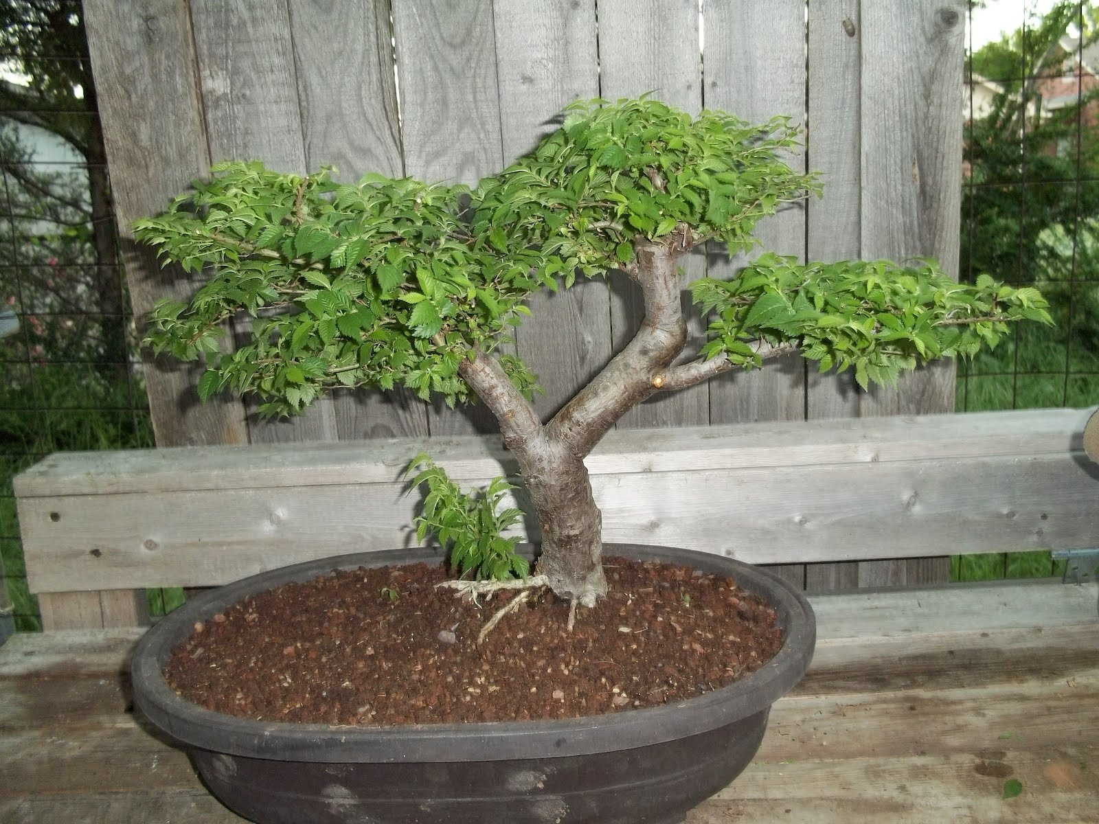 Bent Tree Bonsai One Week Left Untill Dallas Bonsai Convention