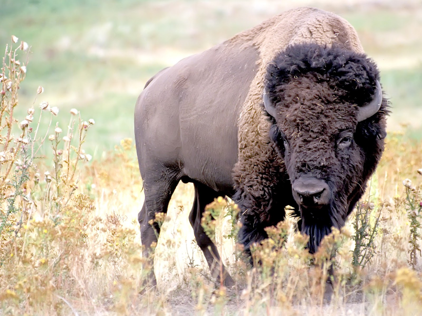 All About Animal Wildlife: American Bison Animal Few Facts ...