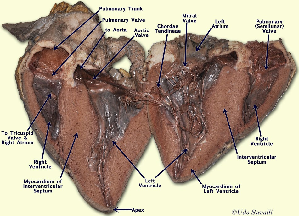 Anatomy and Physiology : The Heart Dissection
