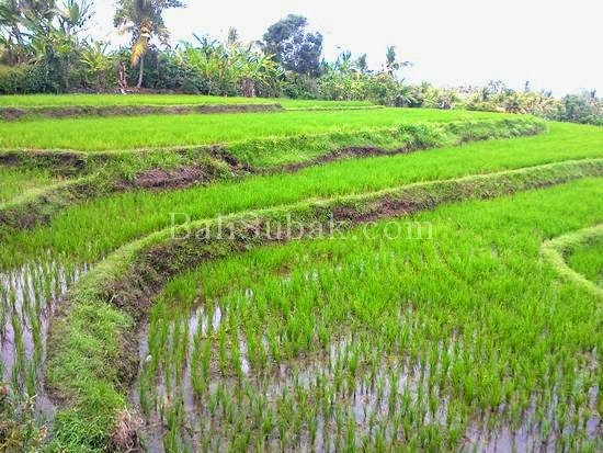 Season for planting rice in terraced rice fields