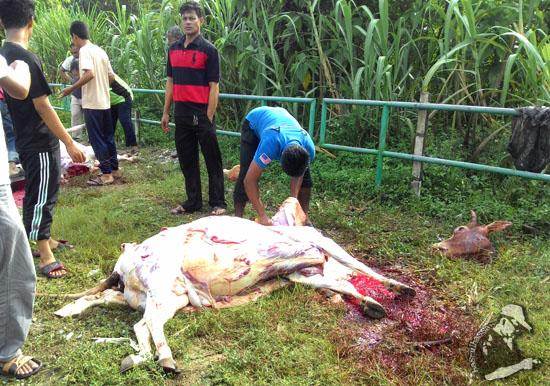 Cara betul dan pantas untuk menyiat dan melapah lembu Qurban
