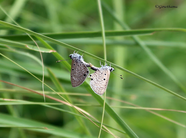Eastern tailed blue butterfly mating