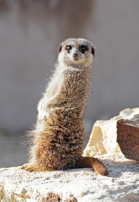Funny meerkat pictures - photo#16