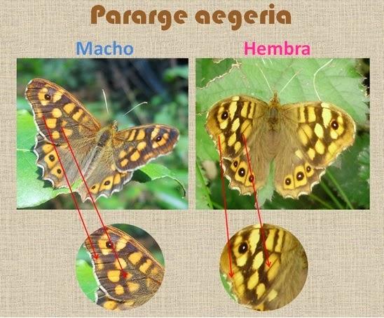 Diferencias entre machos y hembras de Pararge aegeria