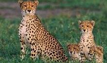 أجمل صور الفهود | 25