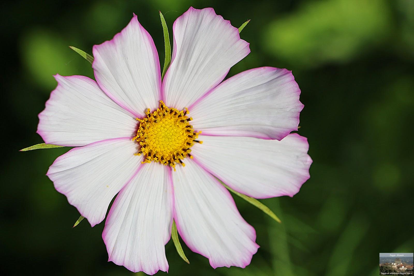 Imagenes De Flores Rojas Y Blancas - Galérias de imágenes de Flores Pedia Florespedia com