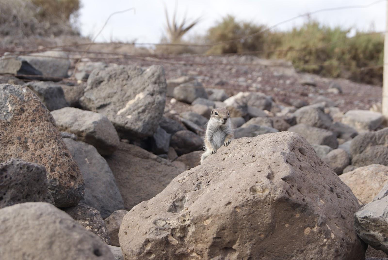 squirrels, Fuerteventura