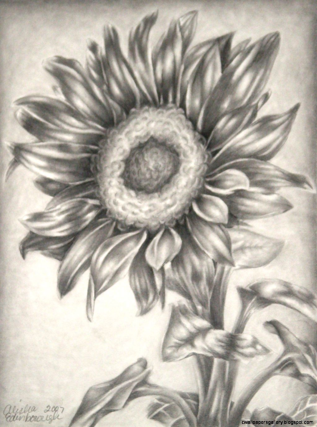 Sunflower Print of the Original Pencil Drawing 8x10 by AlishasArt