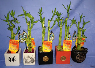 Bamboo plants - lucky bamboo chinese new year