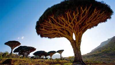 Pohon Dragonblood Laut Arab