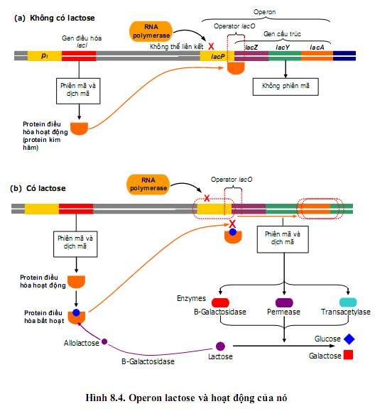 Hoạt động của operon lac