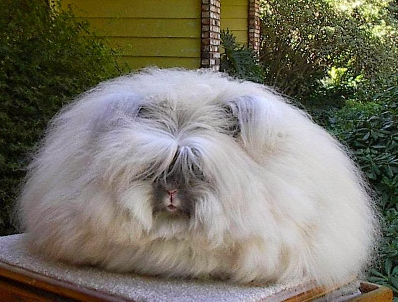 Image showing an English angora rabbit