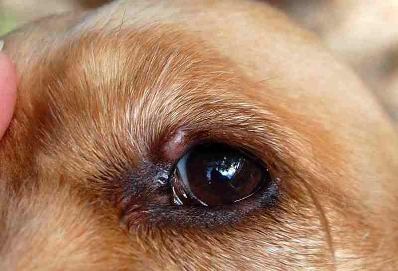 Bump On Dog S Lower Eyelid