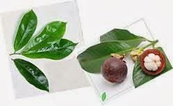 Obat Herbal Infeksi Paru-Paru