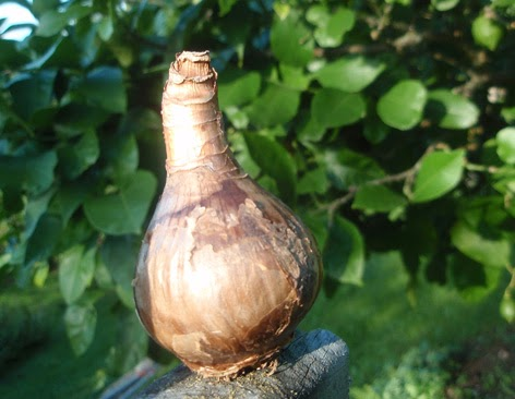Bulbos Primaverales Plantacin y cultivo El Jardn y Rosa