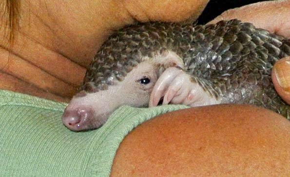 A rescued baby pangolin