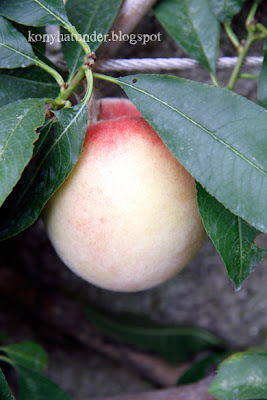 august-in-the-garden-white-flesh-peach