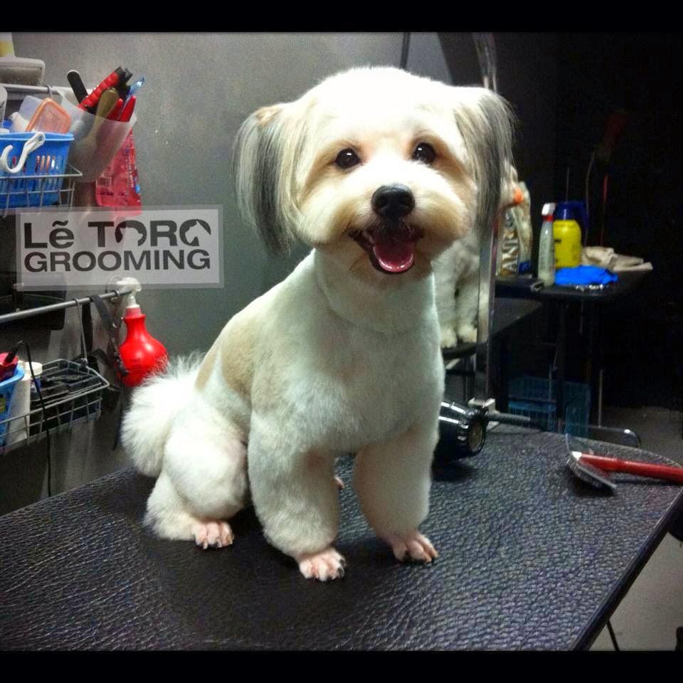 Shih Tzu Teddy Bear Style Dog Grooming Letoro Grooming
